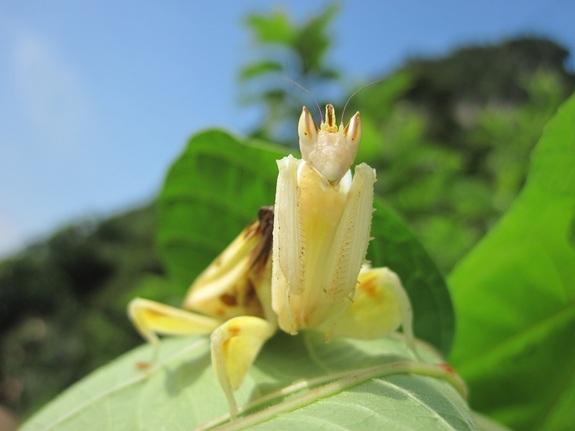 livescience-orchid-mantis-8