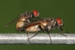 janeteresa-Housefly_mating