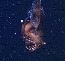 ksbw.com-anglerfish-jpg